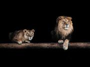 Jersey Stenzo Panel Löwe, nachtblau