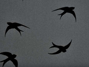 RESTSTÜCK 44 cm Softshell Schwalben, schwarz auf dunkelgrau